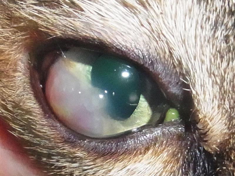 ジストロフィー 犬 角膜